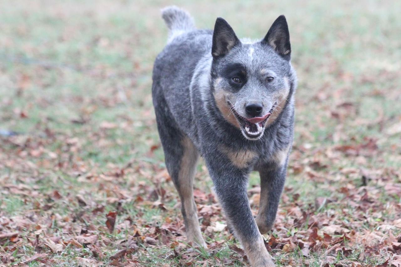 Sadie - Australian Cattle Dog - Johnson City TN