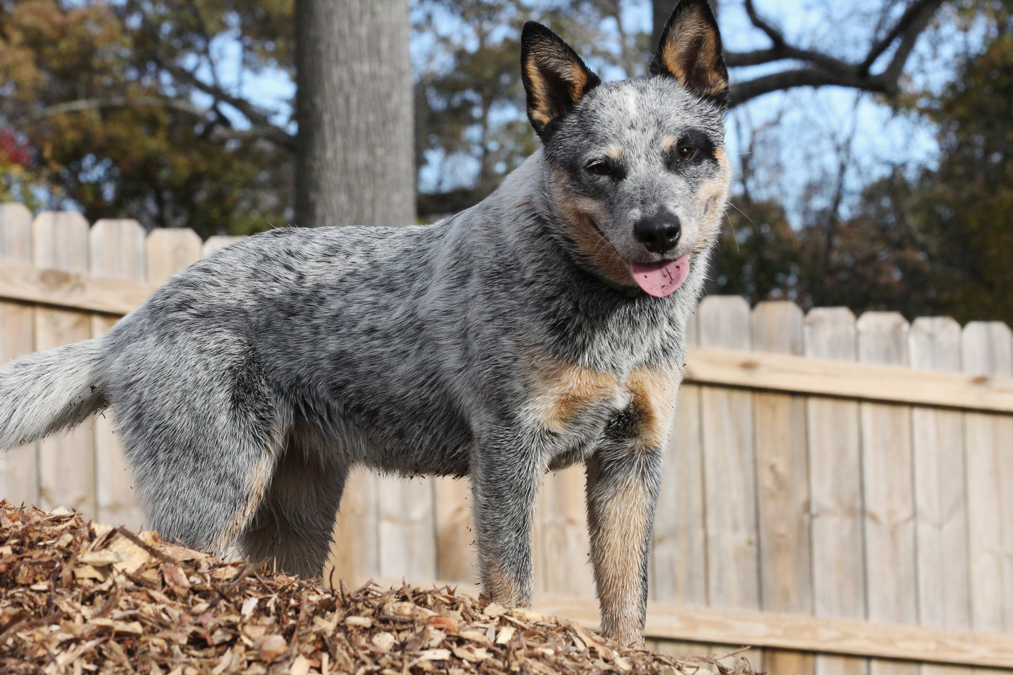 Zima - Blue Yonder Kennel - Johnson City TN
