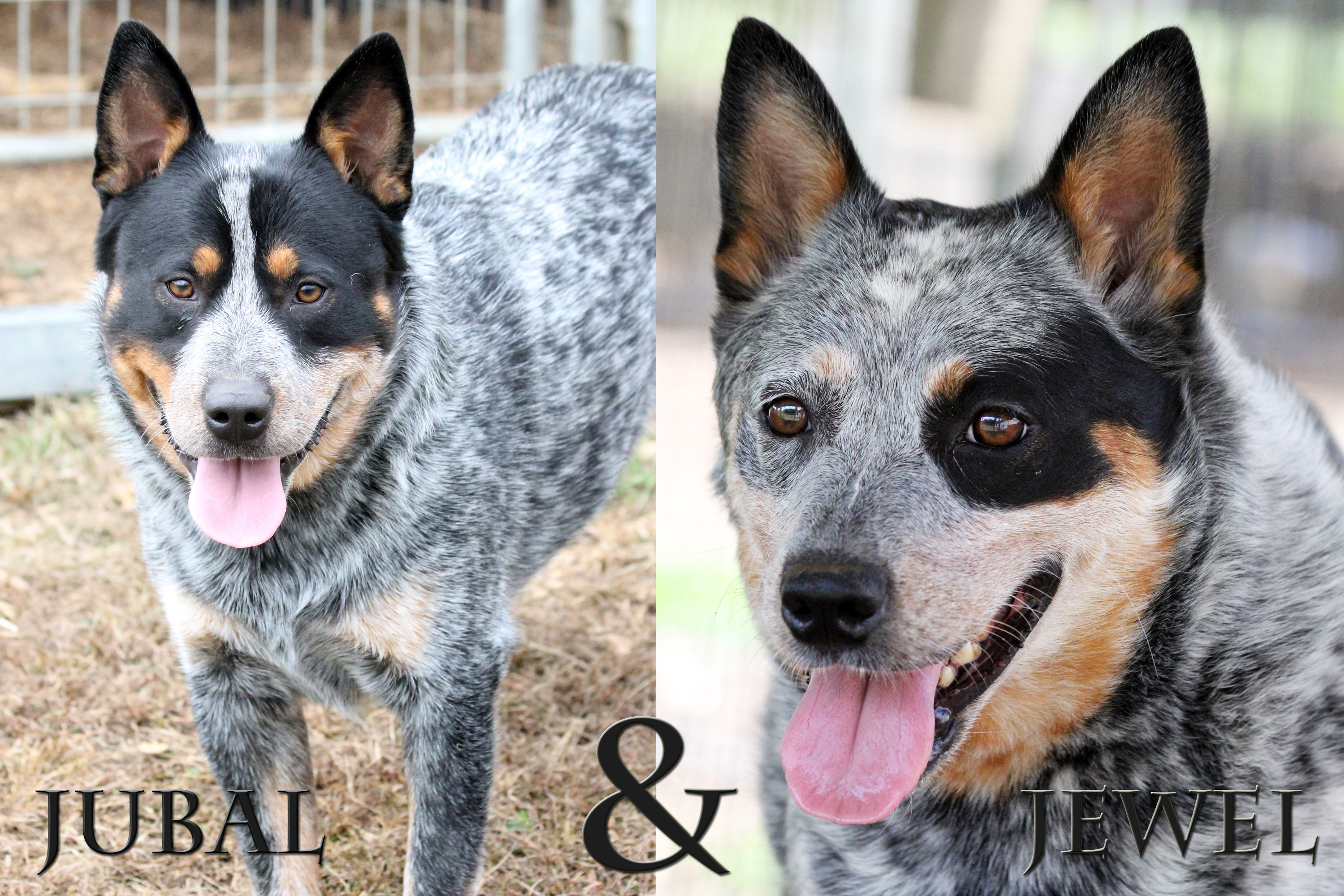 Australian Cattle Dogs | Johnson City TN