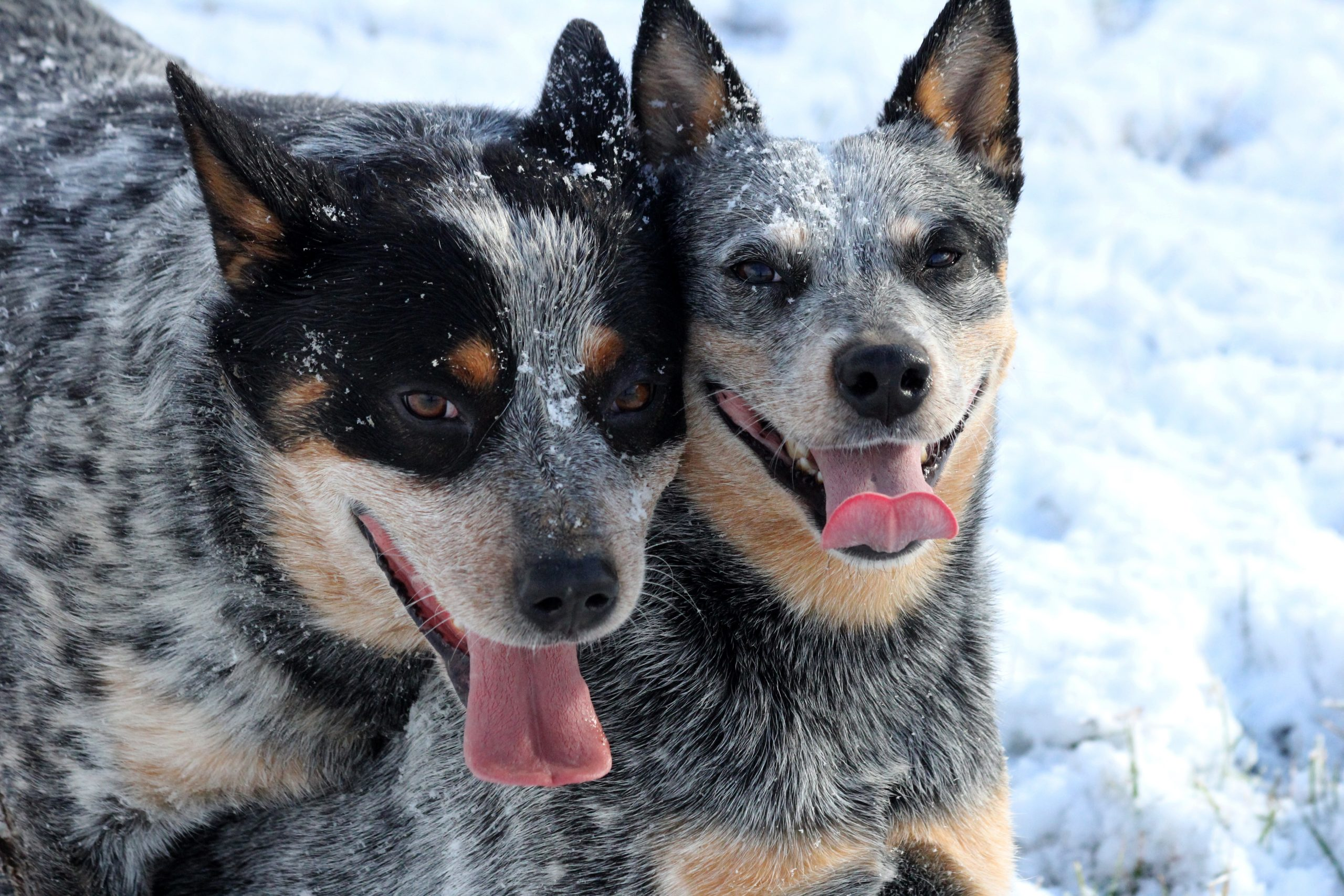 Australian Cattle Dogs | Blue Yonder Kennel | Johnson City TN