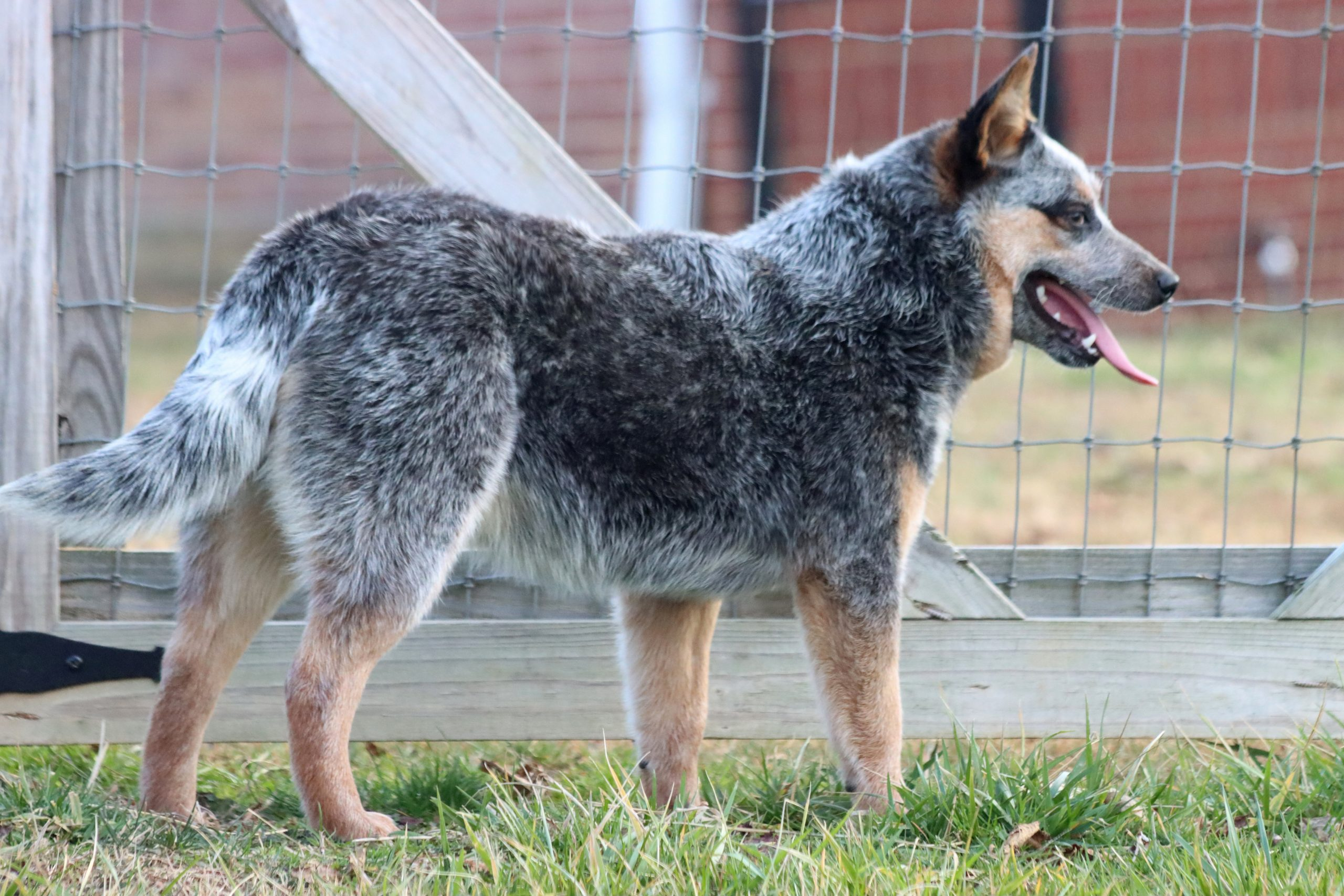 Roxie - Blue Yonder Kennel - Johnson City TN